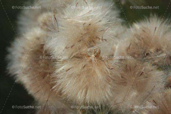 Fotosuche Löwenzahn Pusteblume