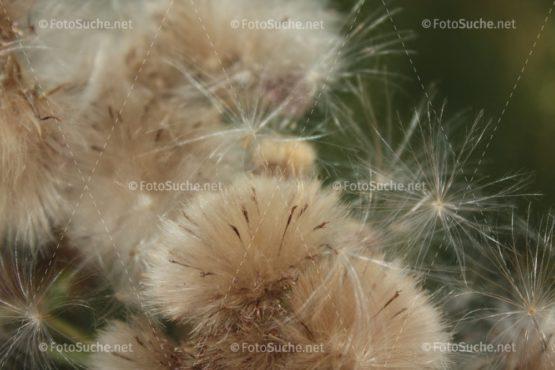 Fotosuche Löwenzahn Verblüht