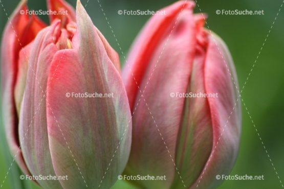 Fotosuche Tulpen