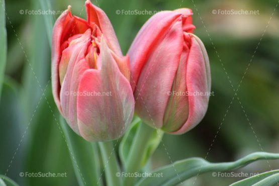 Fotosuche Tulpenköpfe