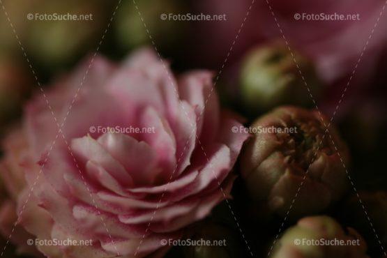 Fotosuche Blüte Pfingstrose