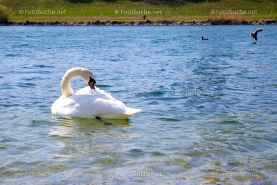 Schwan See Sommer Foto kaufen Fotoshop