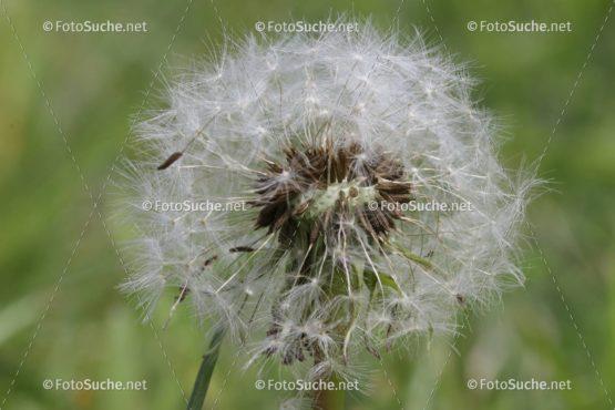 Löwenzahn Pusteblume Frühling Bienen Foto kaufen Fotoshop