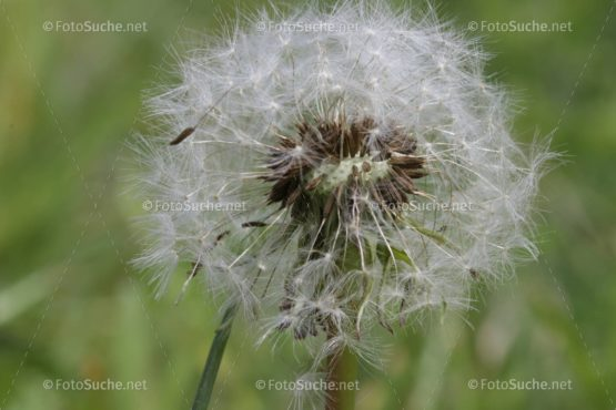 Löwenzahn Pusteblume Frühling Bienen 1 Foto kaufen Fotoshop