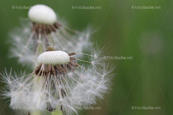 Löwenzahn Pusteblume Frühling Insekten 1 Foto kaufen Fotoshop