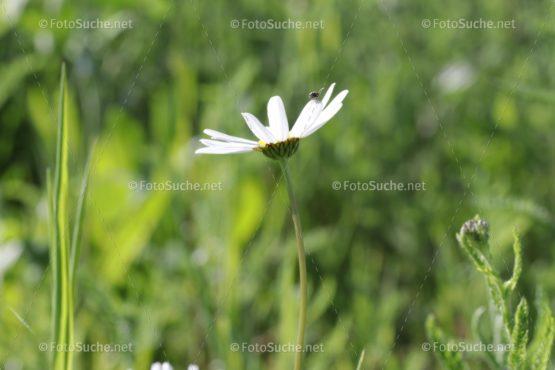 Margeriten Blumen Insekten Foto kaufen Fotoshop