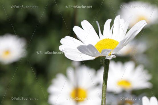 Blumen Margeriten Frühling Foto kaufen Fotoshop
