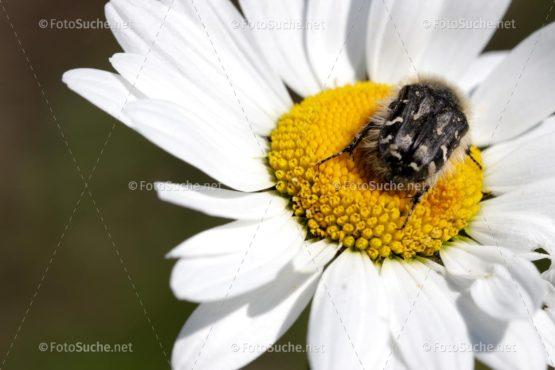 Blumen Margeriten Käfer 1 Foto kaufen Fotoshop