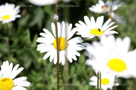 Blumen Margeriten Käfer 2 Foto kaufen-Fotoshop