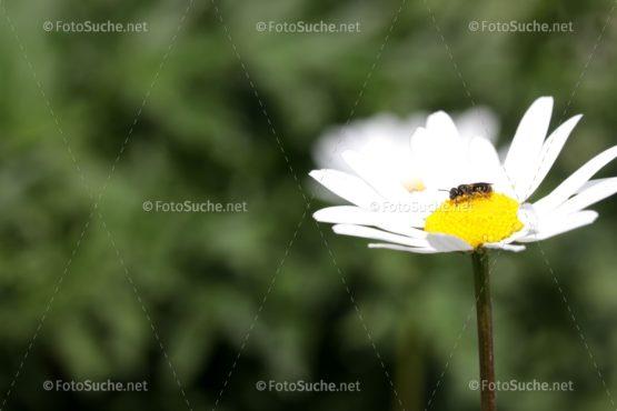 Blumen Margeriten Insekten 1 Foto kaufen Fotoshop