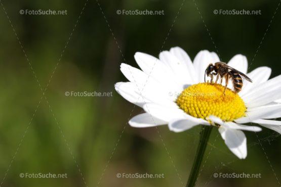 Blumen Margeriten Insekten 2 Foto kaufen Fotoshop