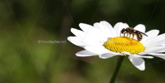 Blumen Margeriten Insekten 3 Foto kaufen Fotoshop