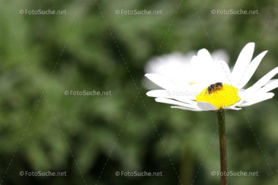 Blumen Margeriten Insekten 4 Foto kaufen Fotoshop