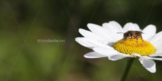 Blumen Margeriten Insekten 5 Foto kaufen Fotoshop
