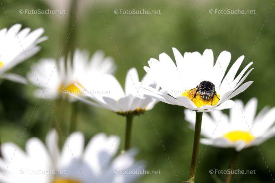Blumen Margeriten Insekten 6 Foto kaufen Fotoshop