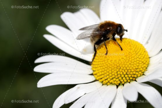 Blumen Margeriten Insekten 7 Foto kaufen Fotoshop