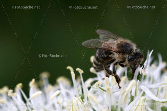 Blumen Blüten Allium 1 Foto kaufen Fotoshop