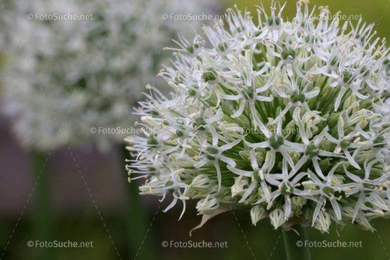 Blumen Blüten Allium 2 Foto kaufen Fotoshop