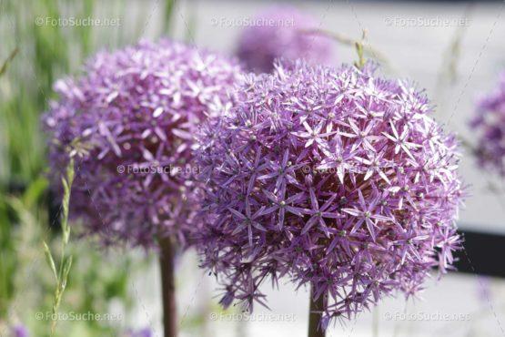 Blumen Blüten Allium Lila Foto kaufen Fotoshop
