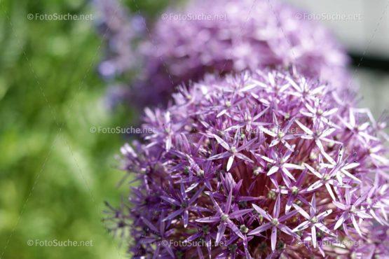 Blumen Blüten Allium Lila 1 Foto kaufen Fotoshop