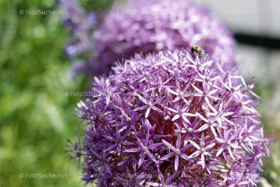 Blumen Blüten Allium Lila 2 Foto kaufen Fotoshop