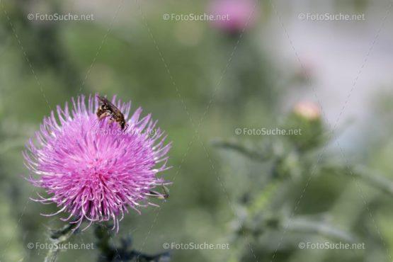 Distelblüte Biene Foto kaufen Fotoshop