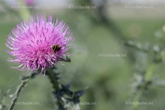 Distelblüte Stacheln Biene Foto kaufen Fotoshop