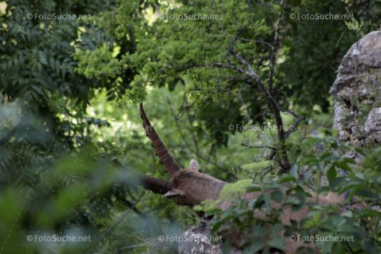 Steinbock Wildtier Felsen Foto kaufen Fotoshop