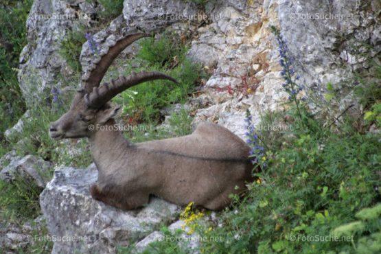 Steinbock Alpentier Felsen Foto kaufen Fotoshop