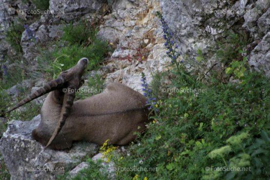 Steinbock Alpentier Geweih Foto kaufen Fotoshop