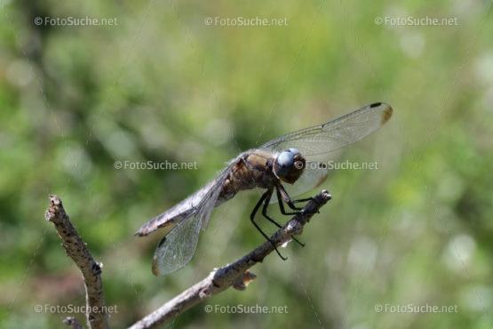 Foto Libelle Insekten Ast Makro Foto kaufen Fotoshop