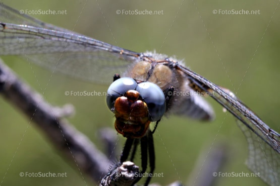 Foto Libelle Fliegen Insekten Foto kaufen Fotoshop