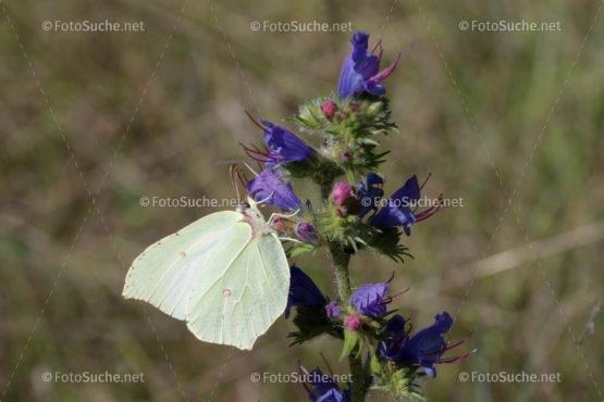 Foto Schmetterling Zitronenfalter Blüten Foto kaufen Fotoshop