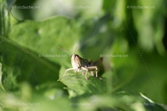 Foto Heuschrecken Insekten Foto kaufen Fotoshop