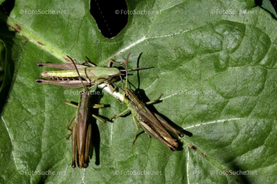 Foto Grashüpfer Blatt Insekten Foto kaufen Fotoshop