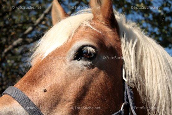 Foto Pferdekopf Haflinger | Foto kaufen Foto kaufen | Fotosuchen