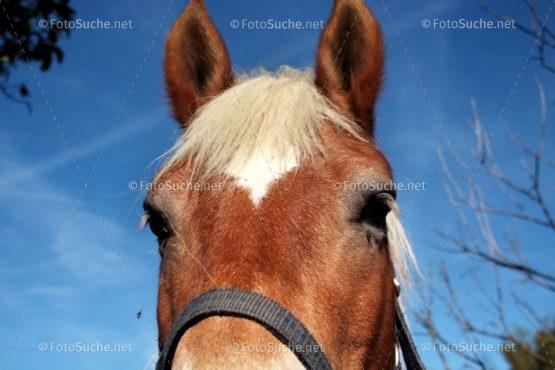 Foto Haflinger Pferdekopf | Foto kaufen Foto kaufen | Fotoshop