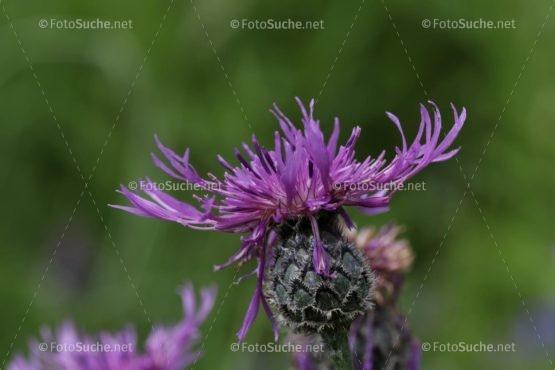 Foto Distel Blüten Lila | schönes Foto kaufen | Fotosuchen