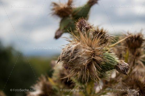 Foto Distel Blüten Verblüht | schönes Foto kaufen | Fotosuchen