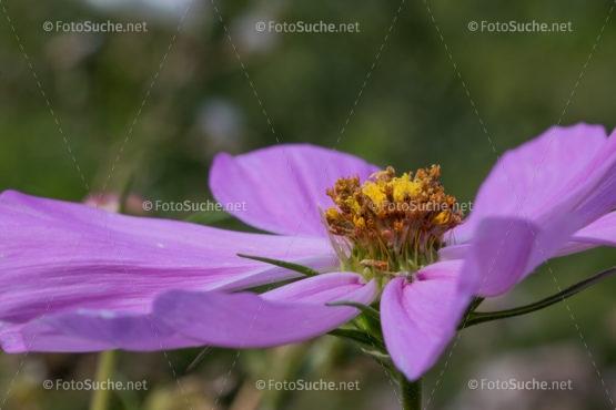 Foto Anemonen Blüten | schönes Foto kaufen | Fotosuchen