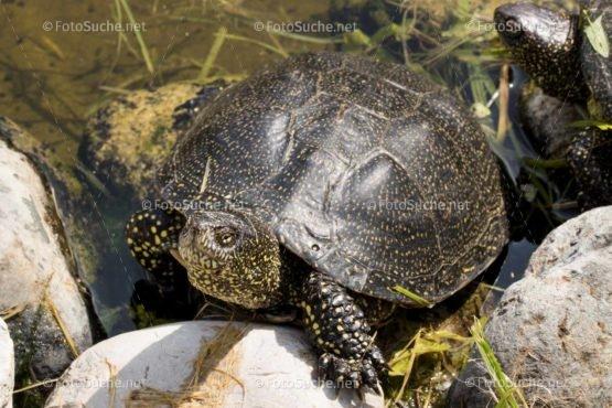 Foto Sumpfschildkröten | tierisches Foto kaufen | Fotosuchen
