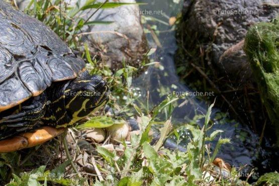Foto Sumpfschildkröten Profil | tierisches Foto kaufen | Fotosuchen
