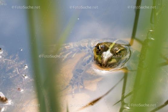 Foto Frosch Tümpel Schilf | tierisches Foto kaufen | Fotosuchen