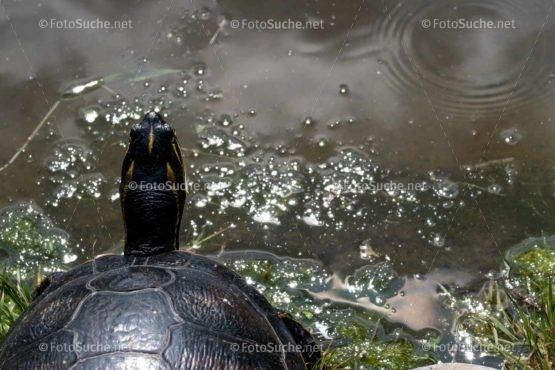 Foto Kopf Sumpfschildkröten | tierisches Foto kaufen | Fotosuchen